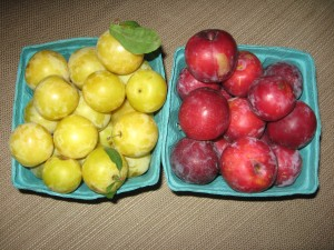 Shiro Sugar Plums are the yellow plums on the left